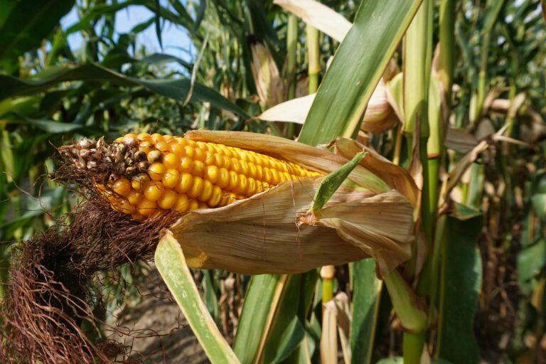 Korzyści z ocieplenia klimatu – rekordowe plony kukurydzy